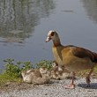 Egyptian Goose with young animals, Germany — Stock Photo