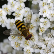 Syrphid fly (Syrphus ribesii) on Yarrow bloom, Germany — Stock Photo