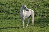 Arabian horse on a meadow in Lower Saxony, Germany — Stock Photo