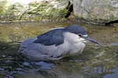 Nycticorax nycticorax - Night Heron takes in Germany — Stock Photo