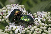 Rose chafer, Cetonia aurata in Italy, Europe — Stock Photo