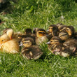 Hatchling of a duck, Anas platyrhynchos - Mallard — Stock Photo