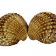 Shells (Acanthocardia tuberculata) - Cockle — Stock Photo