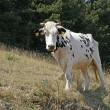 White speckled cow, Monte Baldo, Italy — Stock Photo #9522580