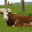 Brown cow with white face and young calf in Germany — Stockfoto