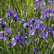 Iris sibirica, Sibirian Iris in spring, Germany, Europe — Stock Photo