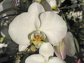 Phalaenopsis orkide melez — Stok fotoğraf