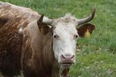 Bydło na pastwisku w niemczech, europa — Zdjęcie stockowe