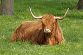 Highland Cattle, Kyloe - Beef cattle with long horns — Stock Photo