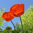 Stock Photo: Two Oriental poppies (Papaver orientale) in spring
