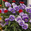 Stock Photo: Violets and daisies in front of windowsill