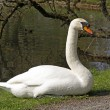 Stock Photo: Mute sw(Cygnus olor) rests at pond in Germany