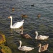 Stock Photo: Mute swfamily (Cygnus olor) with young swans and ducks