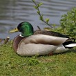 Anas platyrhynchos - Mallard, male duck with green face — Stock Photo