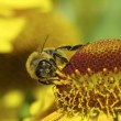 Stock Photo: Western honey bee, Europehoney bee (Apis mellifica)