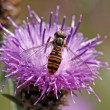 Episyrphus balteatus, Syrphid fly on Brown Knapweed — Stock Photo #9538079