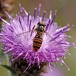 Stock Photo: Episyrphus balteatus, Syrphid fly on Brown Knapweed