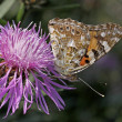 Stock Photo: Vanessscardui, Painted Lady butterfly on Centaurea
