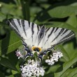 Scarce Swallowtail butterfly in summer, Iphiclides — Stock Photo #9538641