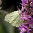 Stock Photo: Common Brimstone (Gonepteryx rhamni), Germany