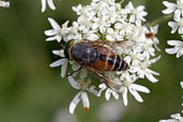 Hoverfly at the flower visit, Germany, Europe — Stock Photo