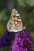 Painted Lady butterfly, Vanessa cardui (Cynthia cardui) — Stock Photo