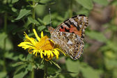 Painted Lady butterfly (Vanessa cardui), Germany — Stock Photo