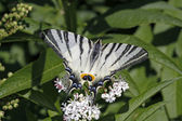 Scarce Swallowtail butterfly in summer, Iphiclides — Stock Photo