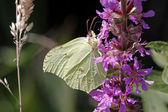 Common Brimstone (Gonepteryx rhamni), Germany — Stock Photo