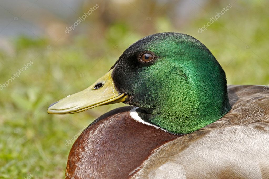 Anas platyrhynchos - Mallard, male duck with green face in Lower Saxony, Germany, Europe — Stock Photo #9537905