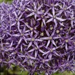Closeup of a Leek flower (Allium) — Stock Photo #9957664