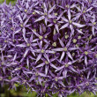 Closeup of a Leek flower (Allium) — Stock Photo