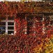 House wall with Japanese creeper in Germany — Stock Photo