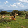 Cows in the southeast of Sardinia near Armungia, Italy — Stock Photo