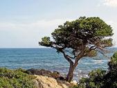 Pine by the sea, San Teodoro, Gallura, Sardinia, Italy — Stock Photo