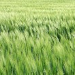 Field of young wheat — Foto Stock