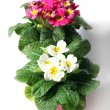 Stock Photo: Spring primroses against white background