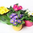 Primroses in colorful pots — Stok fotoğraf