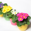 Stock Photo: Colorful primroses in row