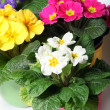 Colorful primroses in colorful pots — Foto de Stock