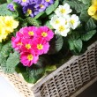 Colorful primroses in the basket — Stock Photo