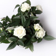 White roses from the top — Stock Photo