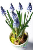 Closeup of lavender in a colorful pot — Stock Photo