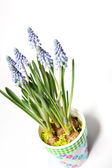Lavender in a colorful pot from above — Stock Photo