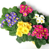 Colorful primroses from the top — Stock Photo