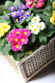 Colorful primroses in the basket — Zdjęcie stockowe