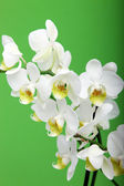 Spray Of White Orchids — Stock Photo