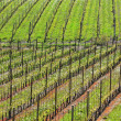 Vineyards at spring. Piedmont, Italy. - Stock Photo