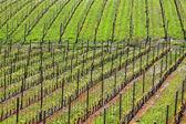 Vinice na jaře. piemont, itálie. — Stock fotografie