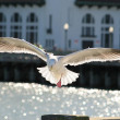 Stockfoto: Seagull before landing. SFrancisco, USA.